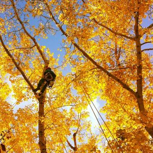 An Arborist pruning a tree with beautiful golden leaves in the fall!