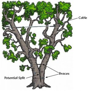 A cartoon illustration of how cabling a tree may benefit you!