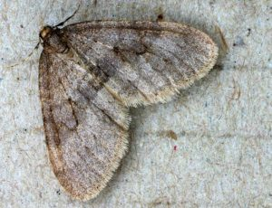 Winter Moth Adult